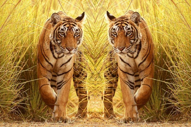 tiger-in-grass - Copy